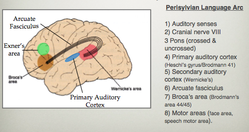 Neuropsych language production comprehension aphasia flashcards preview flashcards ccuart Images