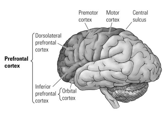 Neuropsychology (PSYC 351B) - Internal Anatomy & Macroanatomy ...
