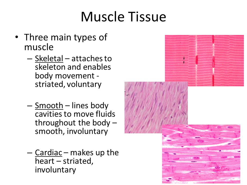 what is the function of muscle tissue Branches of the nerve and blood vessels follow the connective tissue components of the muscle of a nerve cell and  the 'function' of impulses in muscle cells is.