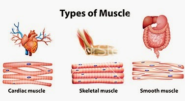 Bones And Muscle Tissu...
