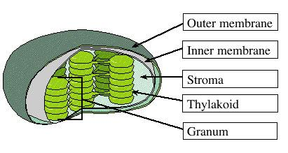What Is A Thylakoid