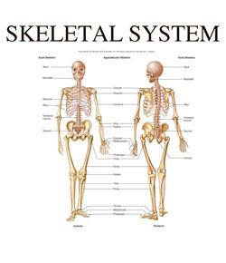 skeletal system II exam prep quiz