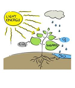 Photosynthesis And Cellular Respiration Quiz (3)