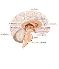 Chapter 10: Nervous System