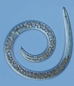 Nematodes (roundworms)