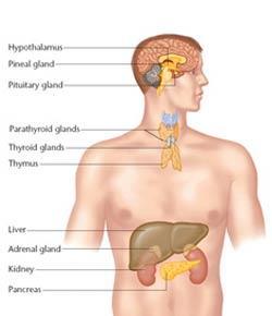 The Endocrine System Practice Quiz For Anatomy