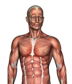 Muscular System Test Chapter 8