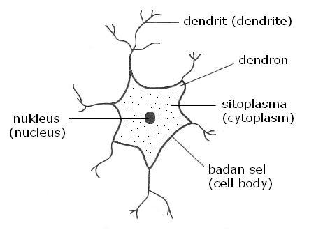 Gambar neuron perantaraan