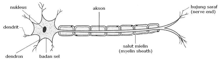 Gambar neuron motor