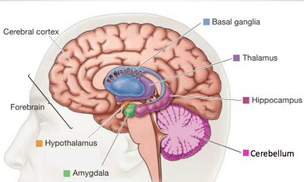 spatial relationship between hypothalamus and thalamus