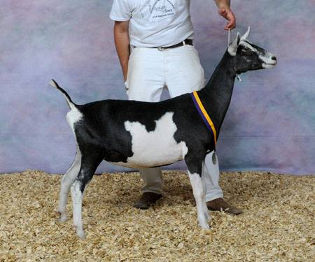 Goat Breeds Flashcards by ProProfs