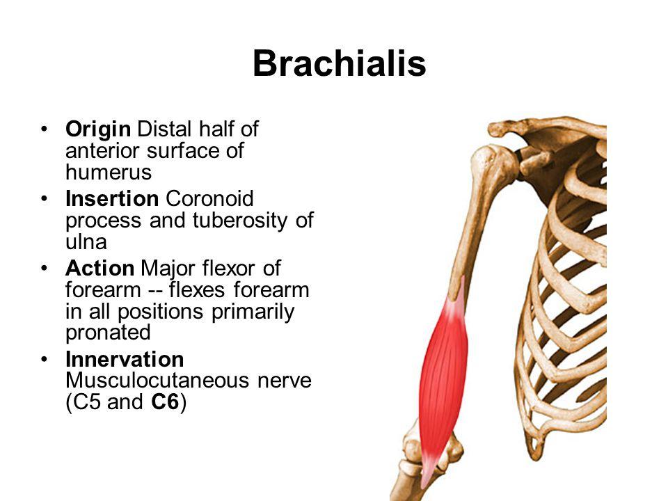 Famous Anatomy Definition Of Origin Inspiration - Human Anatomy ...