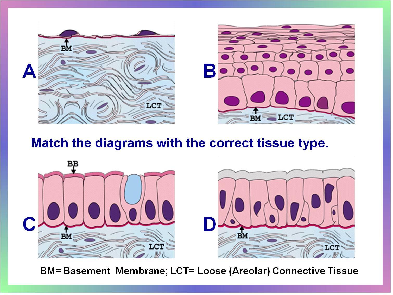 Simple Columnar Epithelial Tissue Diagram