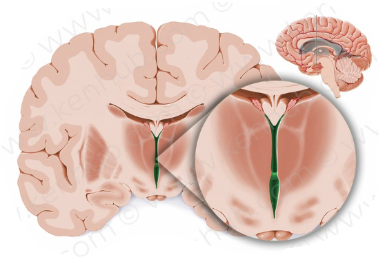 The Diencephalon Flashcards by ProProfs