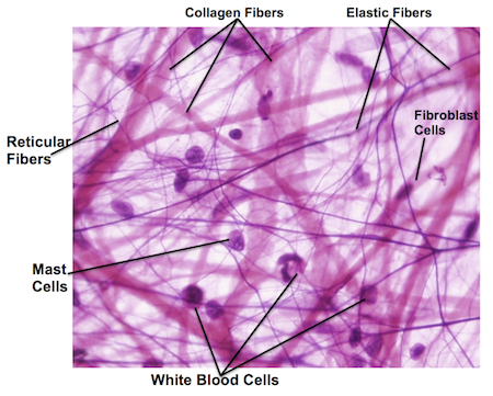 stomach tissue diagram histology slides-lab 1 flashcards by proprofs elastic tissue diagram