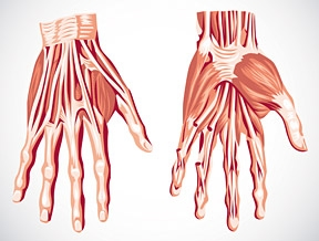 muscles of wrist, hand, and fingers test, Cephalic vein