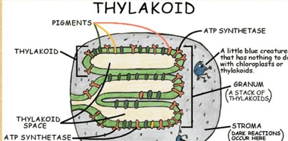 diagram of thylakoid 20 19 stromoeko de \u2022diagram of thylakoid we wiring diagram rh 12 4 13 express world de diagram of thylakoid membrane thylakoid in photosynthesis diagram