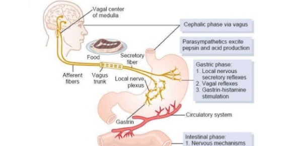 Which of the following is NOT a phase of gastric secretion